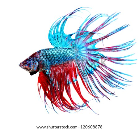 Betta Fish closeup. Colorful Dragon Fish. Aquarium. Isolated on a white background