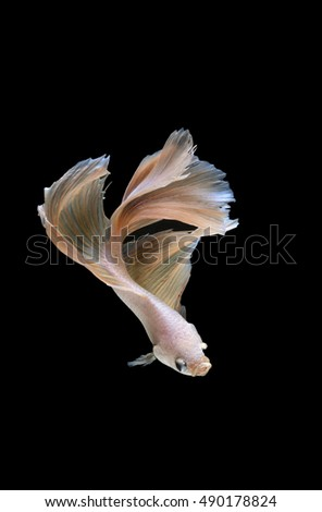 Betta fish moving moment of white siamese fighting fish on black background.