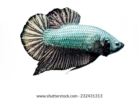 Betta fish on a white background.