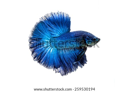 Betta fish on a white background. - stock photo