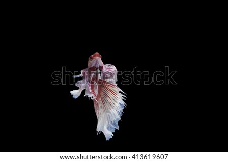 Betta fish on black background ,Clipping Path