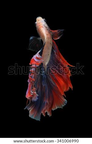 Betta fish on  isolated black background. ( Mascot double tail ) Ballerina betta fish - stock photo