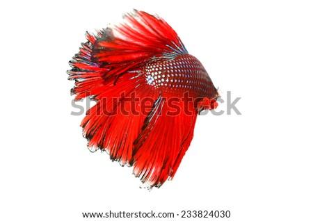 BETTA FISH on white background - stock photo