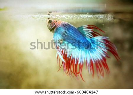 Betta stock images royalty free images vectors for Show betta fish