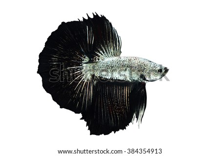 Silver betta fish stock images royalty free images for Black and white betta fish