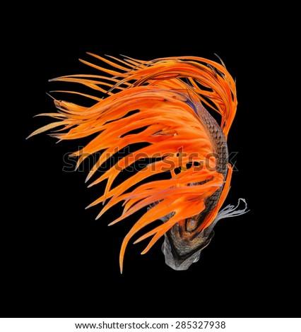 Betta fish, siamese fighting fish, betta splendens (Crown Tail) isolated on black background - stock photo