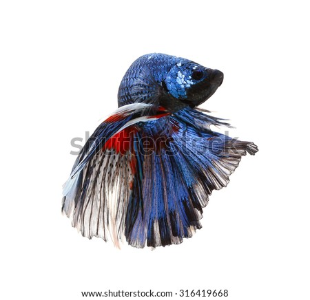 how to breed siamese fighting fish