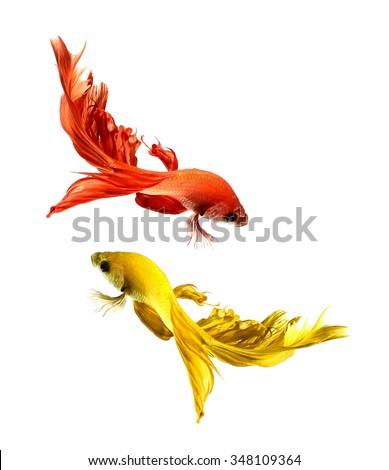 Betta fish, siamese fighting fish, betta splendens (Halfmoon betta )isolated on white background - stock photo