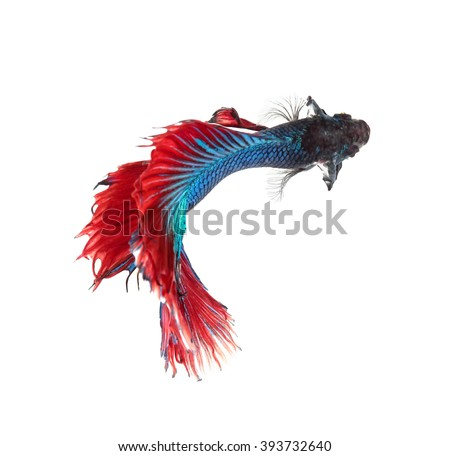 Betta fish, siamese fighting fish, betta splendens top view isolated on white background