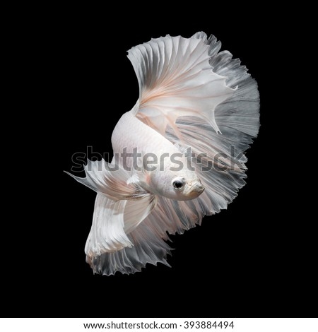 Betta fish,Siamese fighting fish in movement isolated on black background. - stock photo