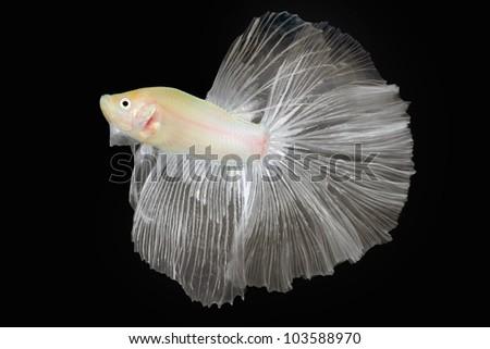 Betta  fish, Siamese fighting fish isolated on black background - stock photo
