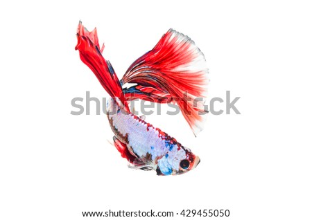 Betta fish, siamese fighting fish,isolated on white background