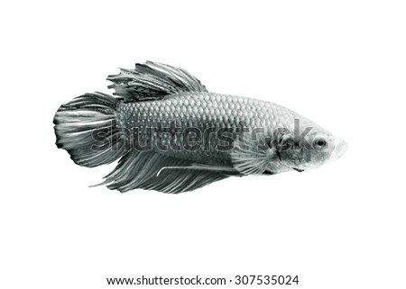 Betta fish, siamese fighting fish, isolated on white background.monochrome - stock photo
