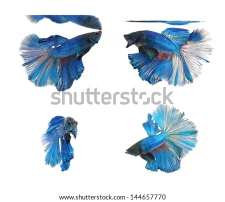 Betta fishes, siamese fighting fish isolated on white background Blue Half Moon - stock photo
