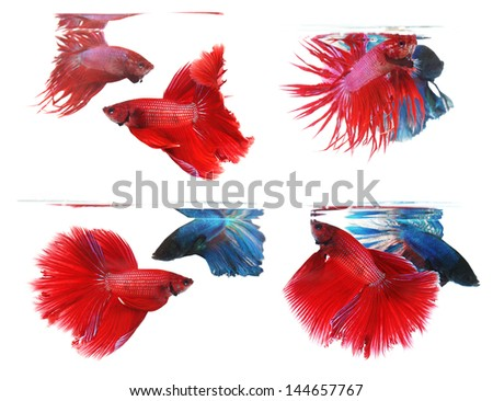 Betta fishes, siamese fighting fish isolated on white background Crown tail and Half moon