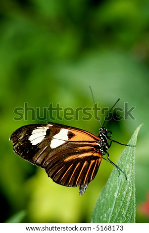 Beutiful monarch butterfly on a leaf - stock photo