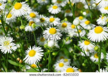 beuty chamomile field at summer