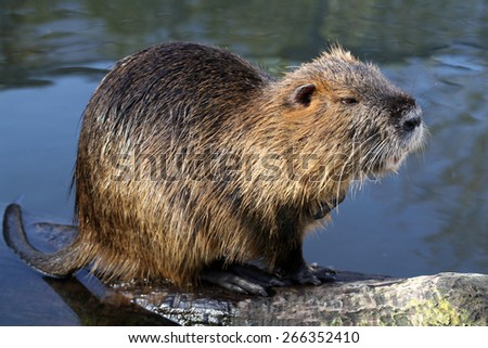 Bever rat - stock photo