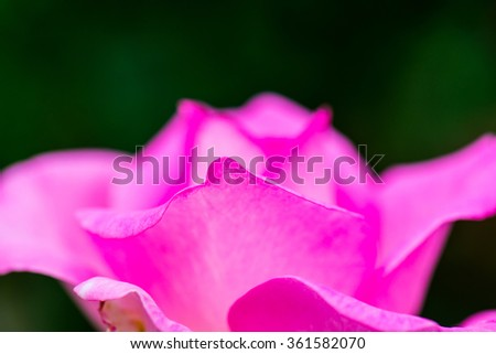 Beverly Rose or Pink Rose in Garden, Thailand. - stock photo