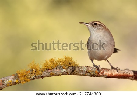 Bewicks wren perched on a branch - stock photo