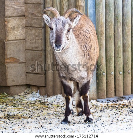 Bharal - sichuan blue sheep full-body shot - stock photo