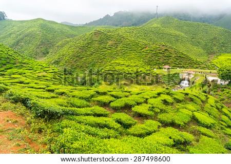 bharat tea plantation at cameron highland - stock photo