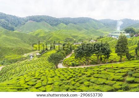 bharat tea plantation at cameron highland malaysia - stock photo