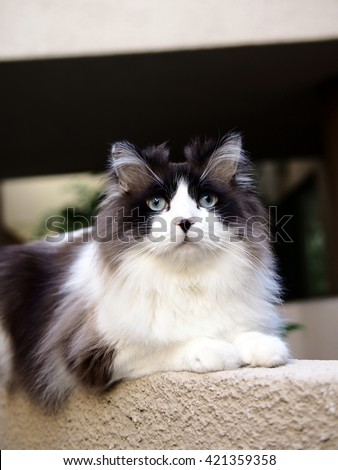 Bi-Color Brown White Blue Eyed Ragdoll Cat with a black button nose and Long Whiskers Sitting on Ledge Looking Upwards - stock photo