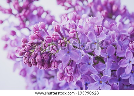 biautiful lilac flowers close up. macro - stock photo