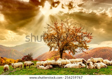 Bible scene. Sheep under the tree  and dramatic sky in autumn landscape in the Romanian Carpathians