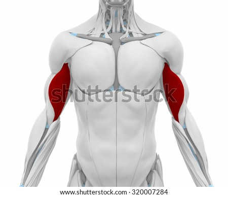 Biceps brachii - Muscles anatomy map - stock photo