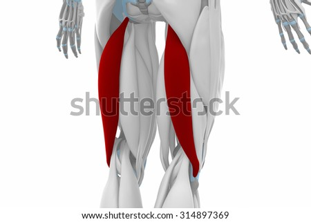 biceps femoris muscles anatomy map stock illustration 314897369, Muscles