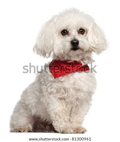 Bichon Fris?���©, 7 years old, sitting in front of white background - stock photo