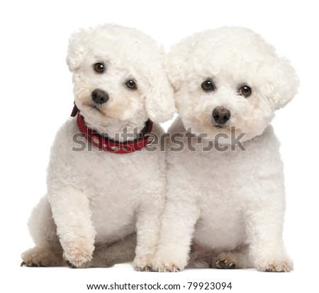 Bichon Frise, 9 and 7 years old, in front of white background - stock photo