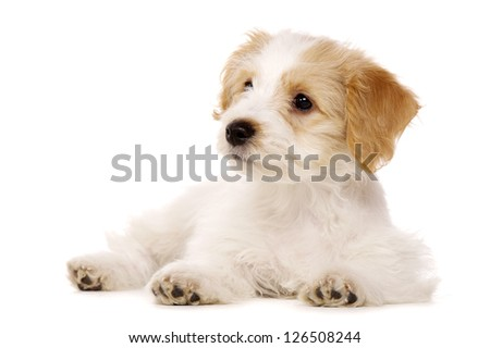 Bichon Frise cross puppy laid isolated on a white background - stock photo