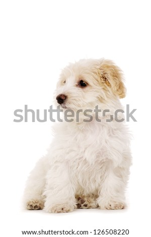 Bichon Frise cross puppy sat looking aside isolated on a white background
