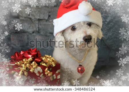 Bichon Frise Dog Wearing a Santa Hat - stock photo