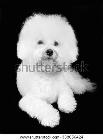 Bichon frise fluffy white dog isolated on the black background - stock photo