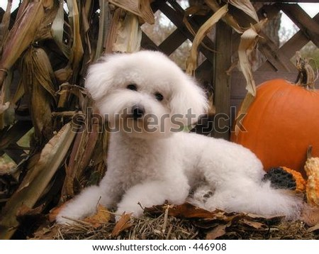 bichon frise in autumn setting - stock photo