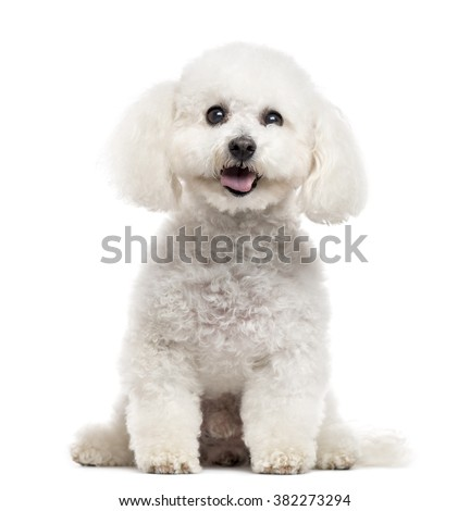 Bichon Frise looking at the camera and sticking the tongue out, isolated on white (10 years old) - stock photo