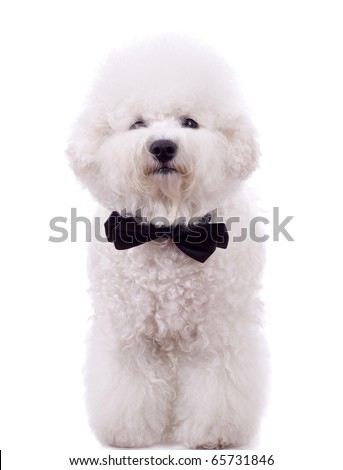 bichon frise with neck bow over white background - stock photo