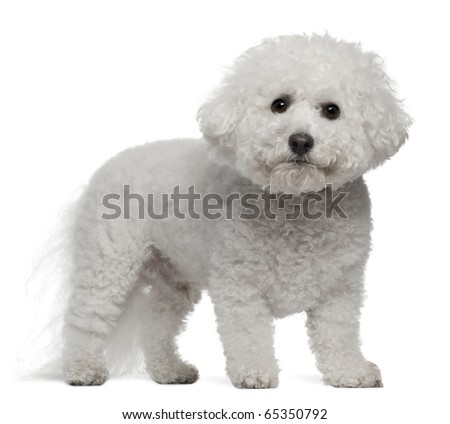 Bichon Frise, 5 years old, standing in front of white background - stock photo