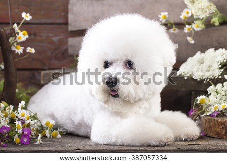 bichon frize - stock photo