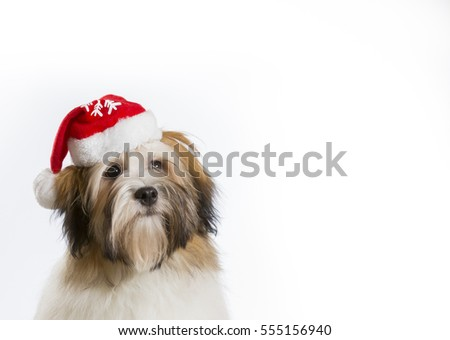 Bichon havanese dog with Christmas hat. Copy space. Lots of room for text.