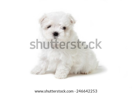 Bichon puppy dog
