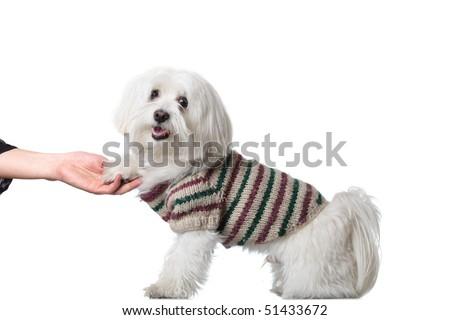 Bichon puppy saying hi - stock photo