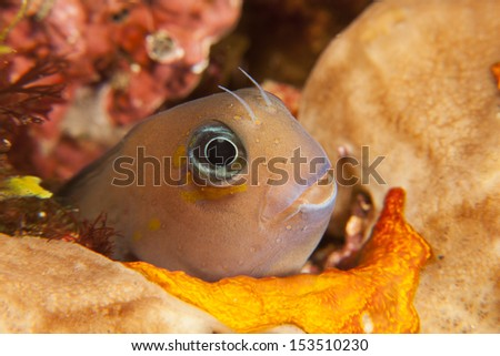 Bicolor Blenny (Ecsenius bicolor) peeking from hole in a tropical coral reef in Bali, Indonesia.