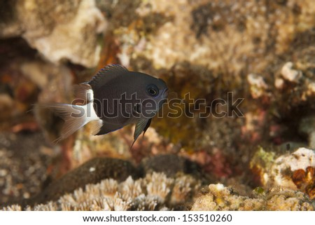 Bicolor Chromis (Chromis margaritifer) on a tropical coral reef in Bali, Indonesia. - stock photo