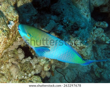 Bicolor parrotfish feeding on coral polyps - stock photo