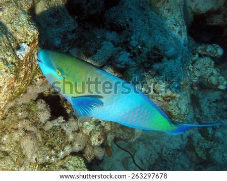 Bicolor parrotfish feeding on coral polyps - stock photo